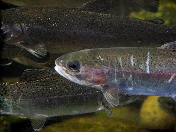 steelhead-fishing-closure-2-5-14-thumb-600x450-68114