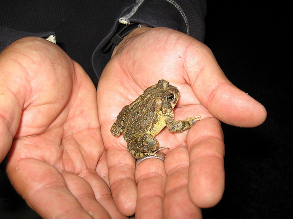 arroyo-toad-3-27-14-thumb-600x450-71109