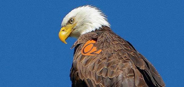 bald-eagle-count-lake-hemet-3-6-14-thumb-600x284-70043