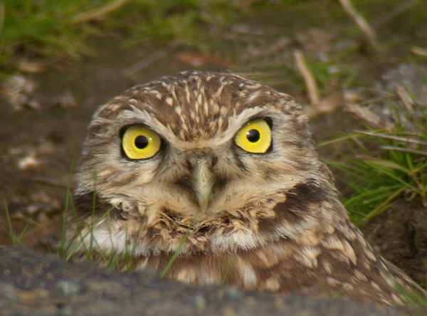 burrowing-owl-4-21-14-thumb-600x444-70848