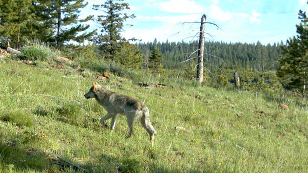 oregon-wolves-3-6-14-thumb-600x338-70092
