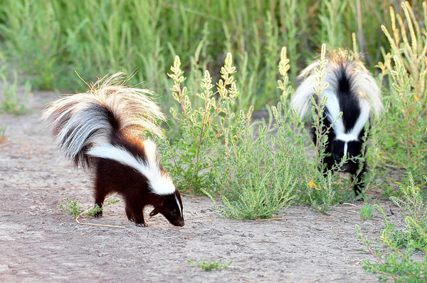 skunks-2-28-14-thumb-600x397-70659