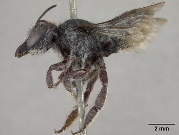 Megachile_gentilis,_female,_side,I_SD6531-thumb-600x451-72123
