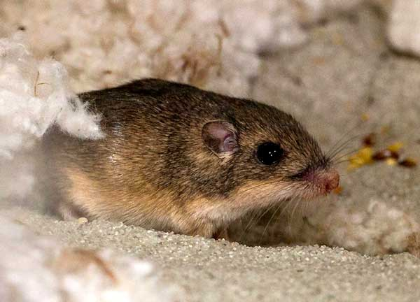 Pacific pocket mouse on April 9, 2014 at the San Diego Zoo | Photo:  Ken Bohn, San Diego Zoo.