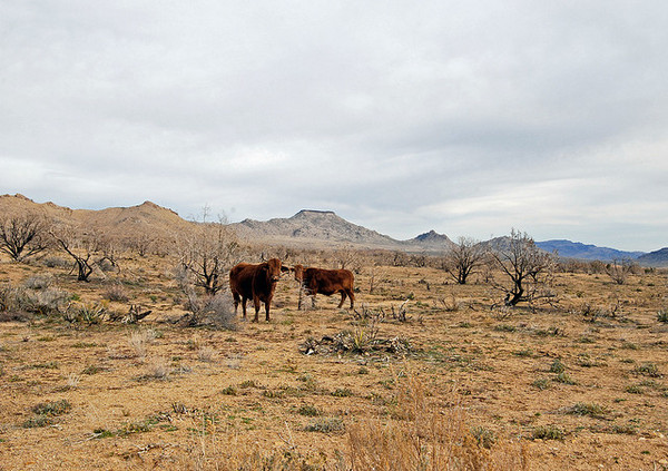 cattle-graziing-mojave-4-7-14-thumb-600x423-71730