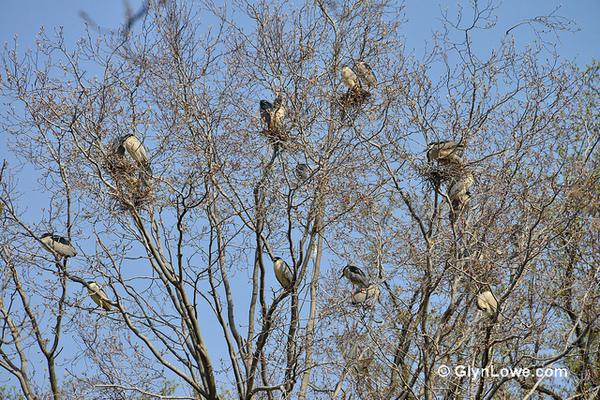 black-crowned-night-herons-5-9-14-thumb-600x400-73648
