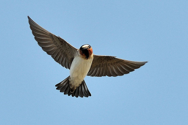 cliff-swallow-petaluma-5-15-14-thumb-600x399-74070