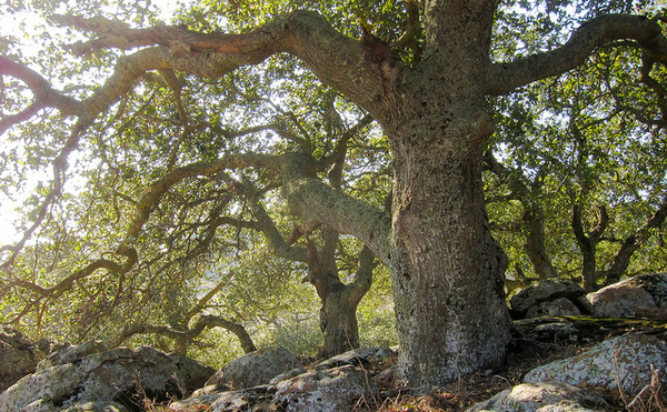coast-live-oak-5-13-14-thumb-600x371-73909