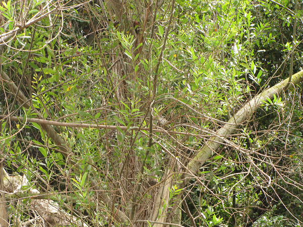 least-bells-vireo-5-16-14-thumb-600x450-74208