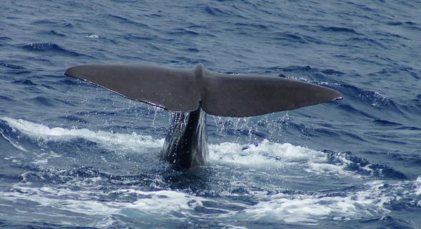 sperm-whale-5-22-14-thumb-600x327-74485