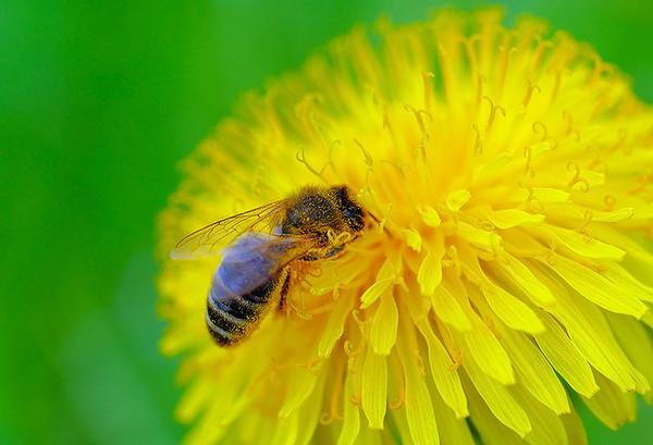 honeybee-6-10-14-thumb-600x409-75354