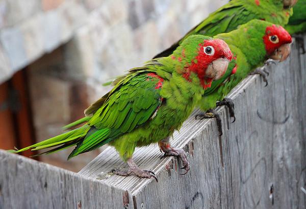 parrots-6-10-14-thumb-600x409-75356