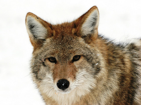 coyote-wildlife-services-7-3-14-thumb-600x450-76811