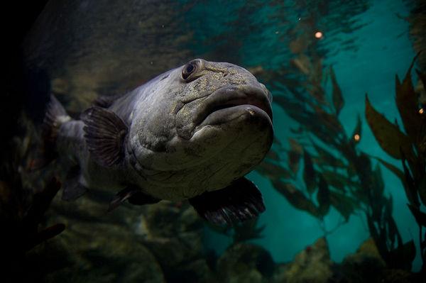 giant-sea-bass-7-22-14-thumb-600x399-77941