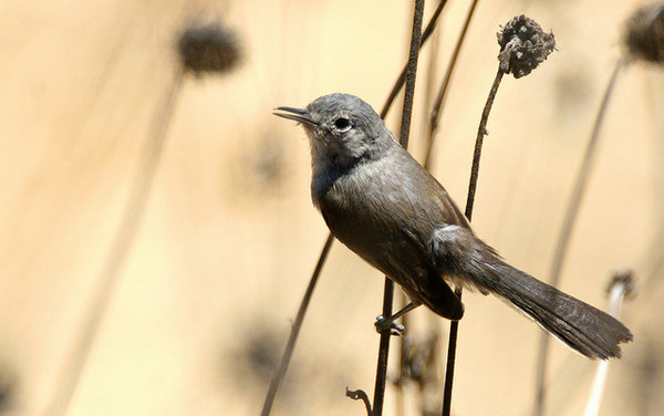 gnatcatcher-science-7-3-14-thumb-600x376-76861