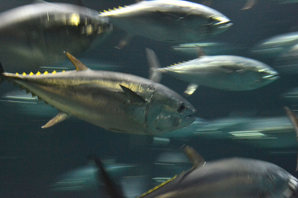 pacific-bluefin-7-23-14-thumb-600x399-78027