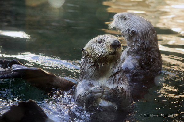 sea-otter-virus-7-16-14-thumb-600x400-77608