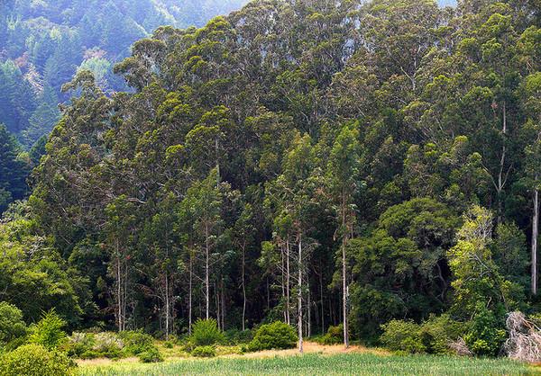 invasive-species-eucalyptus-8-4-14-thumb-600x418-78684