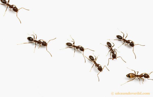linepithema-invasive-alex-wild-8-5-14-thumb-600x381-78708