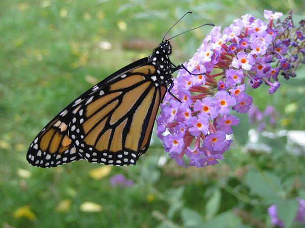 monarch-listing-petition-8-26-14-thumb-600x450-79591