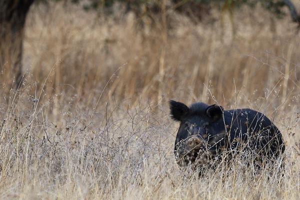 wild-pig-invasives-week-8-7-14-thumb-600x400-78807