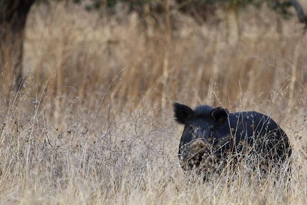 A wild pig in Santa Clara County.