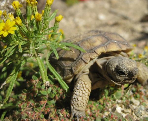 tortoise-hatchling-9-4-14-thumb-600x490-80151