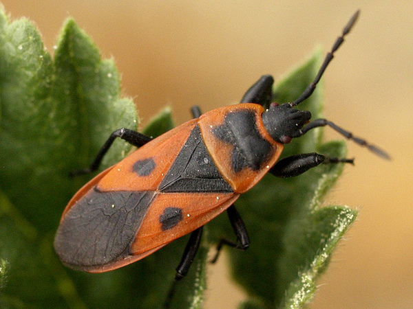 red-bug-10-1-14-thumb-600x450-81596
