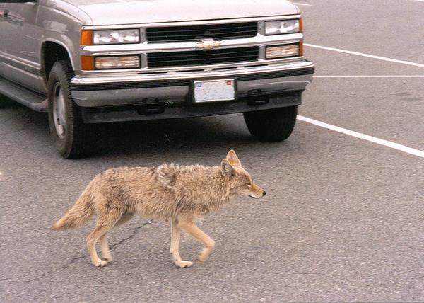 seal-beach-coyote-cull-10-3-14-thumb-600x428-81709