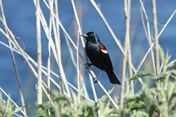 tricolored=blackbird-10-8-14-thumb-600x400-82121