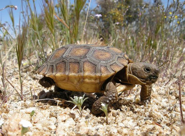 desert-tortoise-11-31-14-thumb-630x466-84553