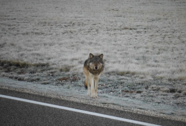 gray-wolf-grand-canyon-10-24-14-thumb-630x426-84406