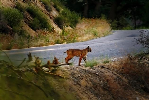 bobcat-road-crossing-12-18-14-thumb-630x421-85600