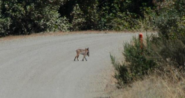 bobcat-road-crossing-2-12-18-14-thumb-630x336-85602