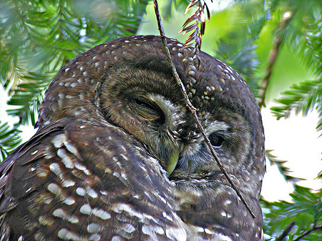 california-spotted-owl-12-24-14-thumb-630x472-85812