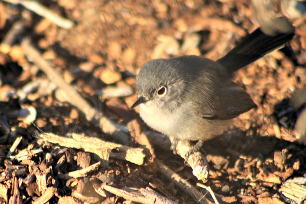 coastal-ca-gnatcatcher-12-30-14-thumb-630x420-85891