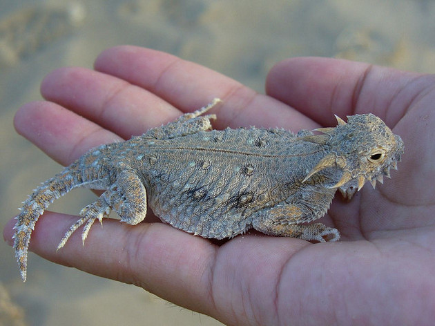 flat=tailed-horned-lizard-12-11-14-thumb-630x472-85213
