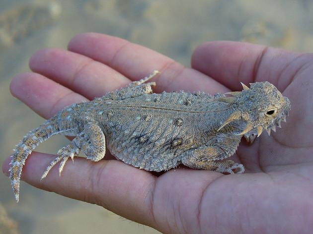 flat=tailed-horned-lizard-12-11-14-thumb-630x472-85213
