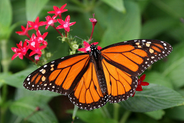 monarch-butterfly-esa-12-30-14-thumb-630x421-85901