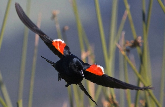 tricolored-blackbird-12-4-14-thumb-630x408-84769