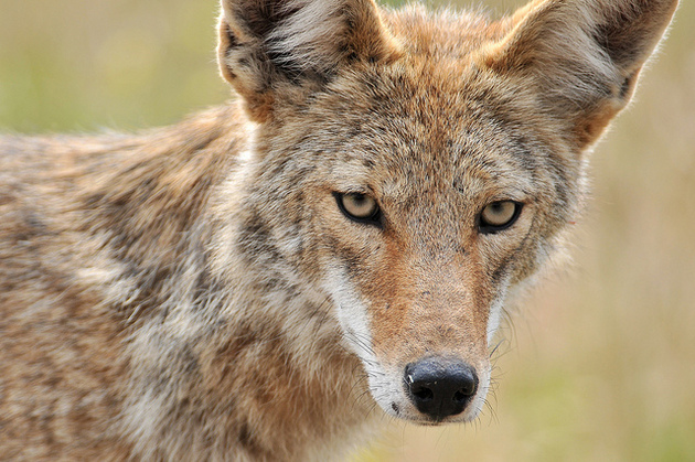 ban-coyote-hunting-in-ca-1-5-15-thumb-630x419-86016