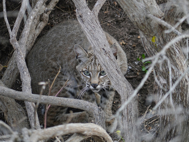 bobcat-santa-cruz-1-14-15-thumb-630x473-86473