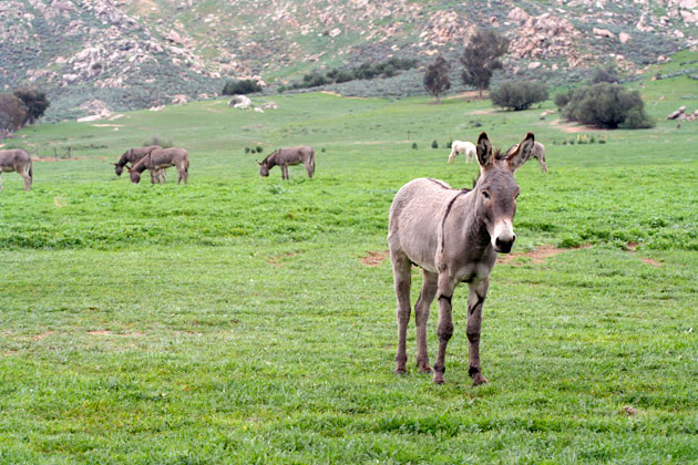 donkey-moreno-valley-1-30-15-thumb-630x420-87406