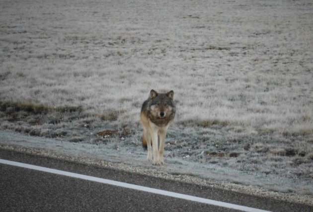gray-wolf-grand-canyon-1-5-15-thumb-630x426-86012