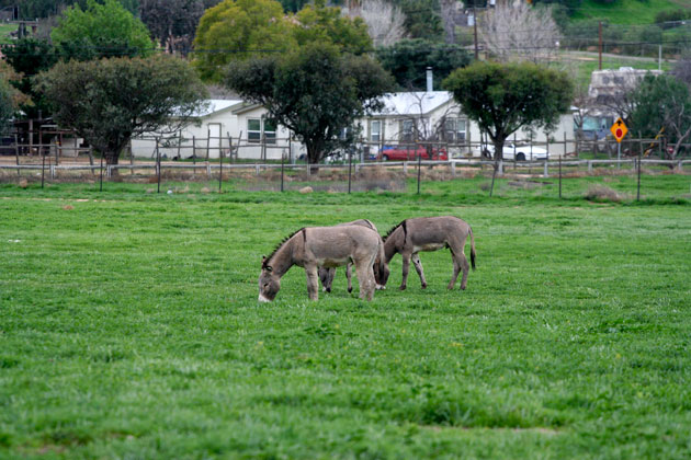 pastoral-donkeys-1-30-15-thumb-630x420-87424