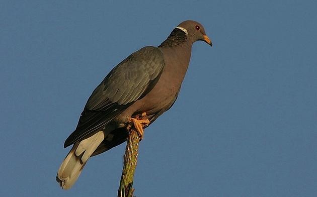 band-tailed-pigeon-2-6-15-thumb-630x392-87753