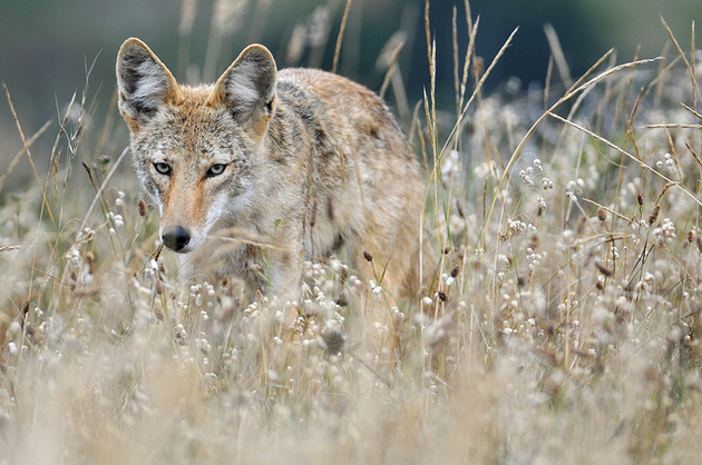 coyote-hunt-adin-2-2-15-thumb-630x418-87460