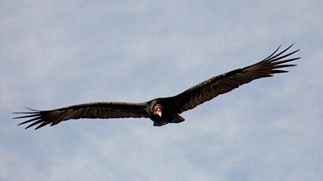 turkey-vulture-2-24-15-thumb-630x353-88535