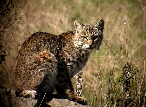 bobcat-3-18-15-thumb-630x463-89748