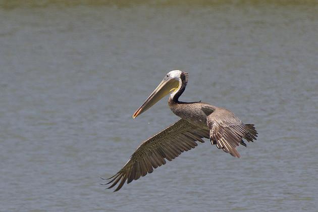 brown-pelican-3-24-15-thumb-630x420-89970